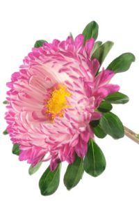 China Aster Flower