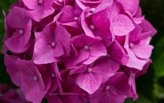 Close Up Picture of Purple Hydrangea Plant