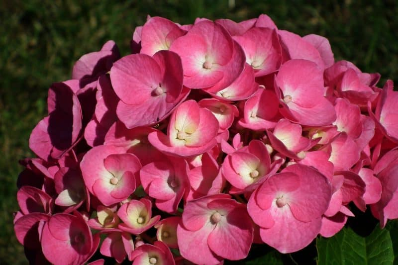 The Hydrangea Plant Is Easy To Grow And Beautiful Seriously Flowers