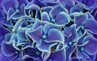Close Up of Blue Hydrangea Plant