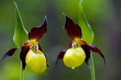 Lady slipper orchids seriously flowers flowers gardening lady slipper orchids mightylinksfo