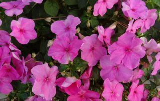 Many Impatiens Flowers