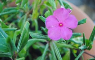 One Impatiens Flower