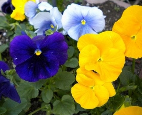 Spring flowers seriously flowers flowers gardening pansy flower mightylinksfo