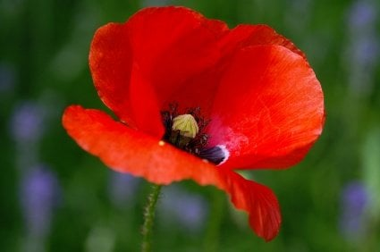 Poppy flower seriously flowers flowers gardening poppy flower mightylinksfo