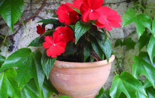 Red Impatiens Flowers