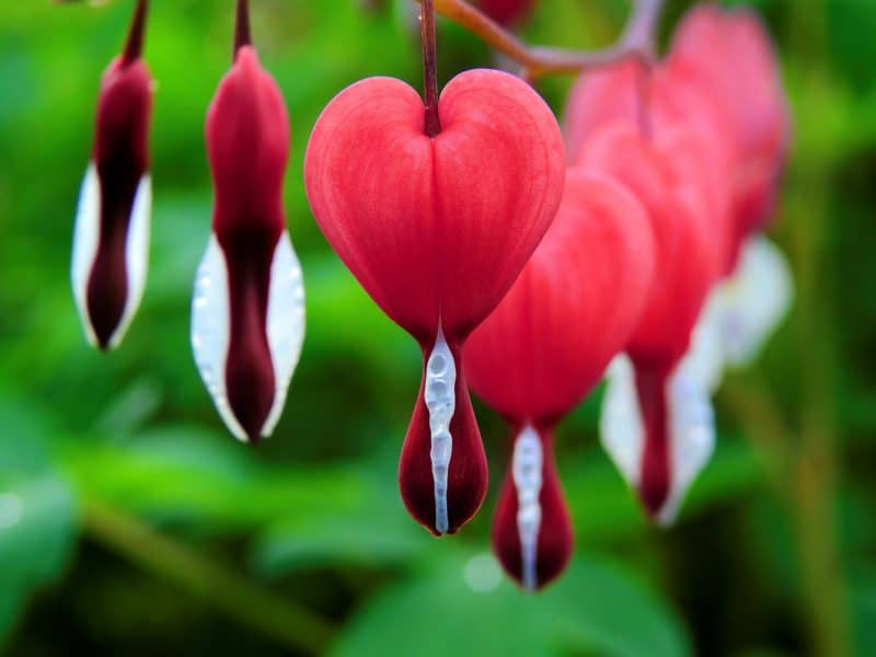 Red Bleeding Heart Flower
