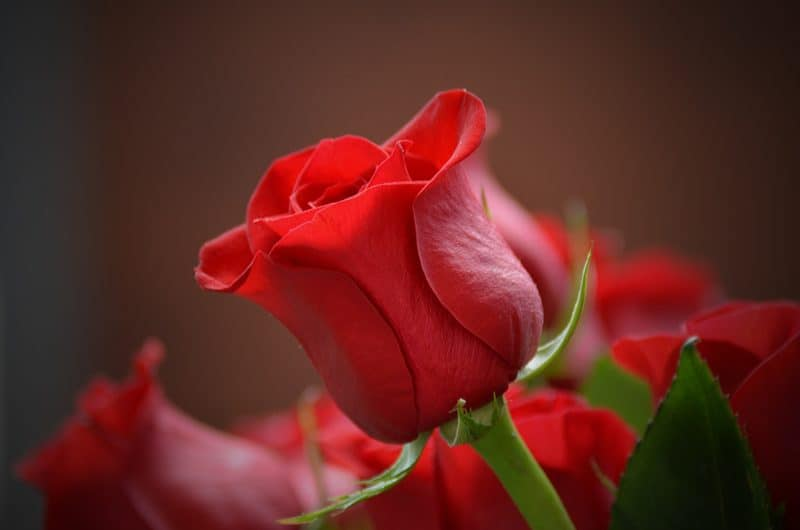 A Red Rose Flower