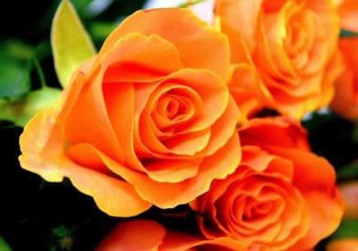 Orange Rose Garden Flower