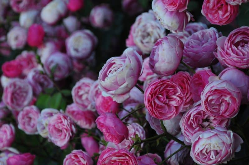 A rose garden looks great learn how to get started seriously flowers pink rose garden flowers mightylinksfo