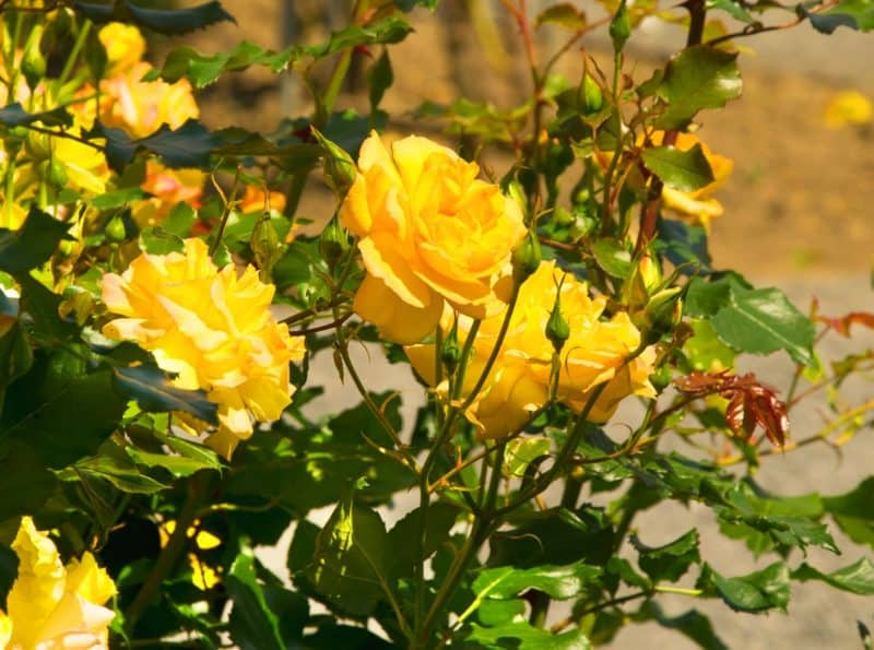 A rose garden looks great learn how to get started seriously flowers yellow rose garden flowers mightylinksfo