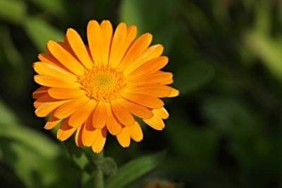 October Birth Month Flowers Calendula Flower