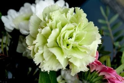 January Birth Month Flowers Carnation