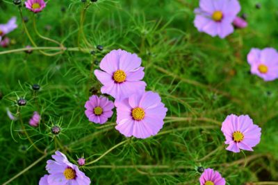 October Birth Month Flowers Cosmos Flowers