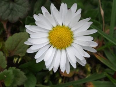 April Birth Month Flowers Daisy Flower
