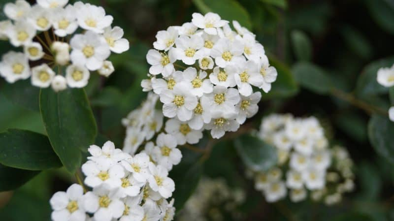May Birth Month Flowers Hawthorn Flowers