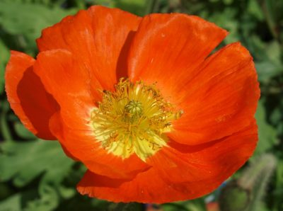 Birth month flowers all have their special meanings seriously flowers august birth month flowers poppy flower mightylinksfo