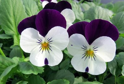 February Birth Month Flowers Violet Flower