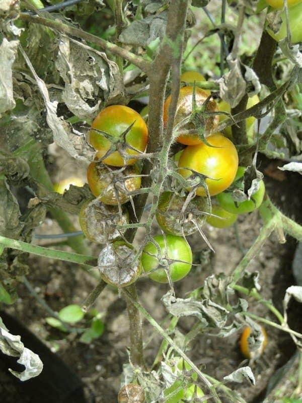 Plant Diseases - Tomato Blight