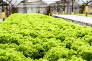 Hydroponics Advantages - Growing Lettuce