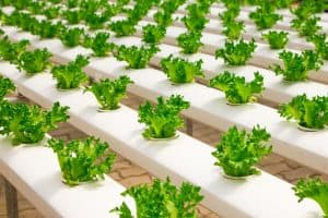 Hydroponics Benefits - Growing in Greenhouse