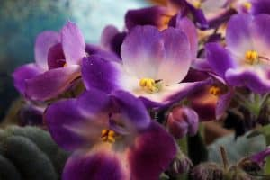 Winter Flowers - African Violets