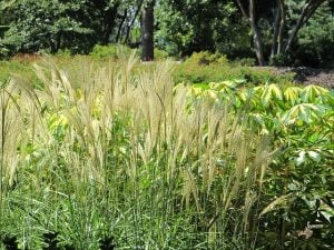 Ornamental Grasses - Feather Reed Grass