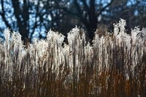 Ornamental Grasses - Pampas Grass