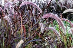Ornamental Grasses - Purple Fountain Grass