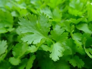 parsley herbs
