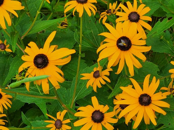black eyed susan insects