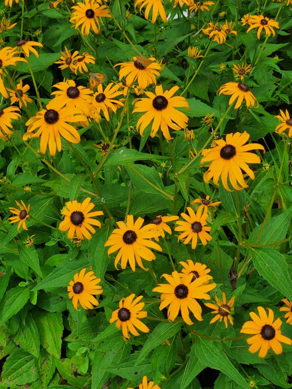 black eyed susans insects