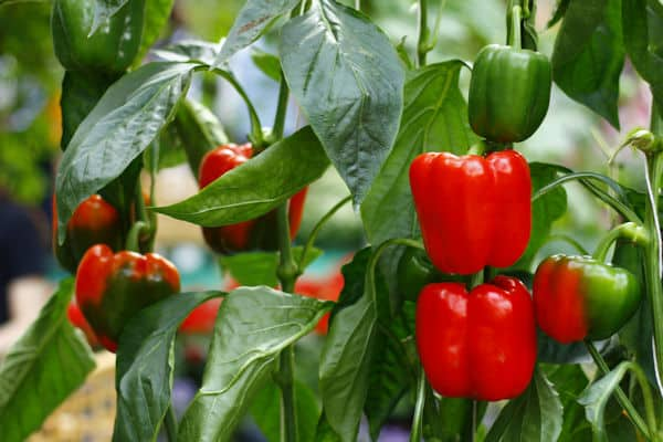 easiest fruits and vegetables to grow - bell peppers