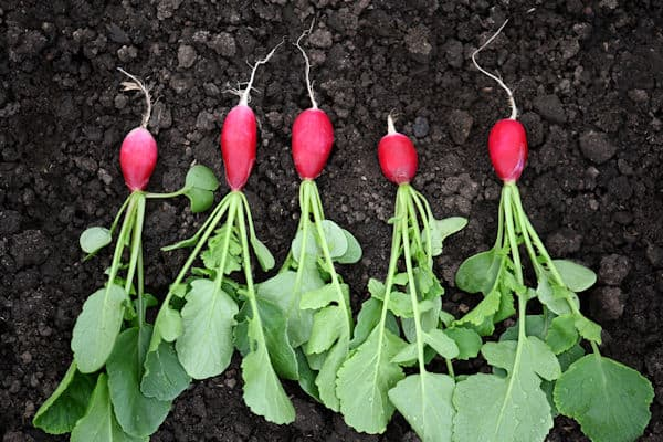 easiest fruits and vegetables to grow - radishes