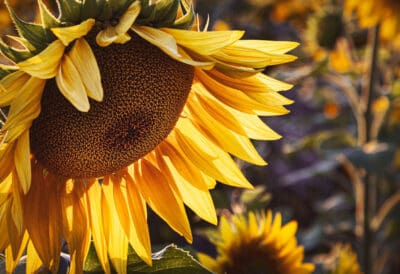 types of flowers - sunflower close-up