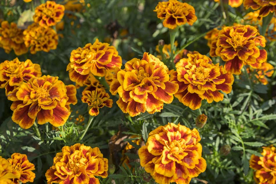 Several Colorful Marigolds
