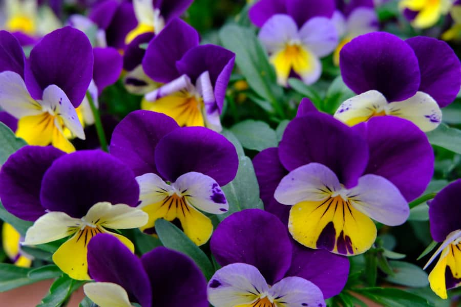 purple and yellow pansy flowers