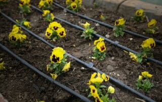 pansy flowers with drip irrigation system
